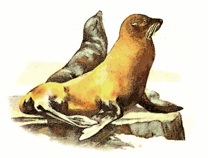 California_sea_lion